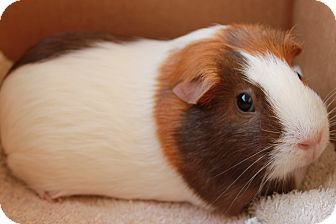 Guinea Pig for adoption in Spring, Texas - Jewel