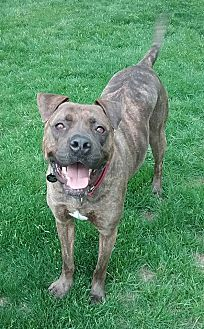 Mastiff Mix Dog for adoption in Sharon Center, Ohio - Reece