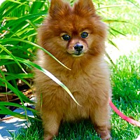 Adopt A Pet :: Paddington - Corona, CA