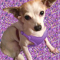 Chihuahua Dog for adoption in Redding, California - Miss Piggy extra special