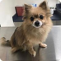 Adopt A Pet :: Penelope VI - Dallas, TX