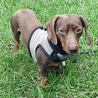 Adopt A Pet :: Mocha - Orangeburg, SC