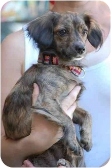 Dachshund/Chihuahua Mix Dog for adoption in Los Angeles, California - Sweets