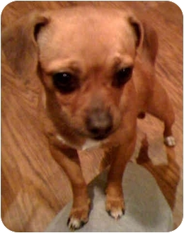 Chihuahua Mix Dog for adoption in Los Angeles, California - Haiti