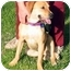 Photo 3 - Beagle/Labrador Retriever Mix Dog for adoption in San Pedro, California - Blondie