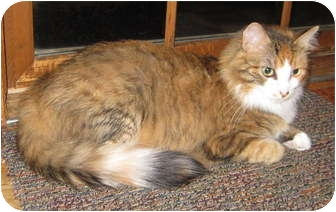Maine Coon Cat for adoption in High Ridge, Missouri - Gemma