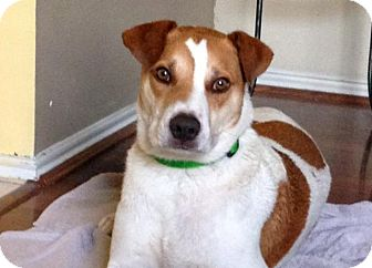 Labrador Retriever/Boxer Mix Dog for adoption in Austin, Texas - Deets