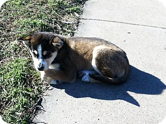 Husky Mix Puppy for adoption in White Settlement, Texas - Delilah - adoption pending
