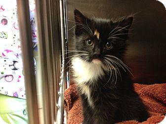 Domestic Shorthair Kitten for adoption in Warwick, Rhode Island - Kittens