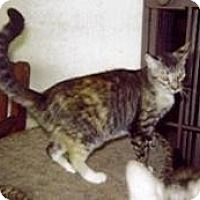 American Shorthair Cat for adoption in Miami, Florida - Sofia