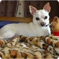 Adopt A Pet :: Peppy - Toronto/Etobicoke/GTA, ON