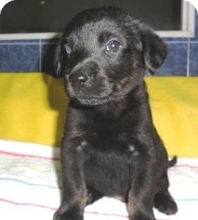Labrador Retriever/Husky Mix Puppy for adoption in Bartonsville, Pennsylvania - River