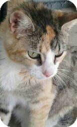 Domestic Shorthair Cat for adoption in Modesto, California - Jellybean