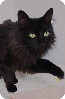 Domestic Longhair Cat for adoption in Denver, Colorado - Seattle