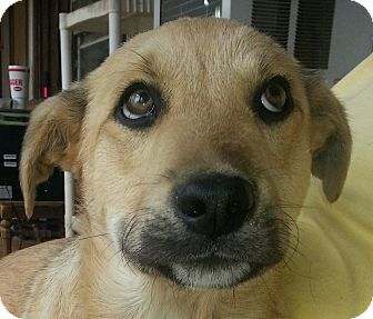 Labrador Retriever Mix Puppy for adoption in Trenton, New Jersey - Reggie