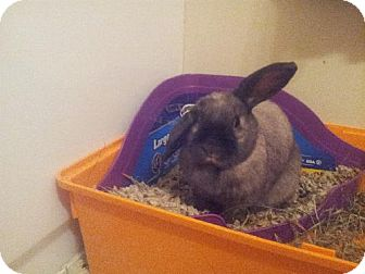 Mini Lop Mix for adoption in London, Ontario - Coco