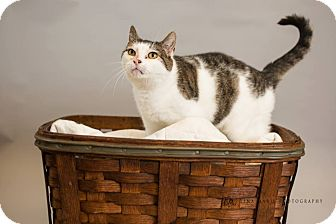 Siamese Cat for adoption in shelton, Connecticut - Simone
