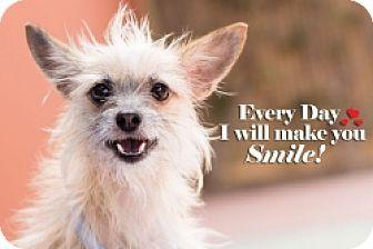 Chihuahua Mix Puppy for adoption in Mesa, Arizona - Chloe