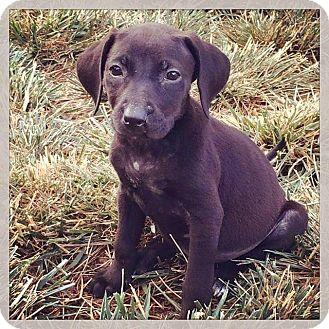 Labrador Retriever Mix Puppy for adoption in Concord, California - Annabelle