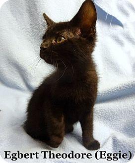 Domestic Shorthair Kitten for adoption in Bentonville, Arkansas - Egbert Theodore