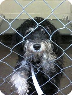 Poodle (Miniature)/Terrier (Unknown Type, Medium) Mix Dog for adoption in Rockville, Maryland - Tango