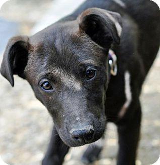Labrador Retriever/German Shepherd Dog Mix Puppy for adoption in Pleasant Plain, Ohio - Lindy