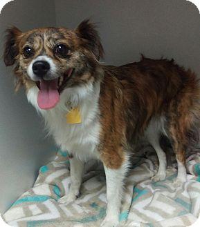 Papillon/Spaniel (Unknown Type) Mix Dog for adoption in Apache Junction, Arizona - JoJo