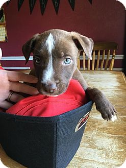 American Pit Bull Terrier Mix Puppy for adoption in Weatherford, Texas - Blaze