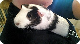 Guinea Pig for adoption in Hanna City, Illinois - Oreo