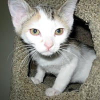 Calico Kitten for adoption in Rutledge, Tennessee - Mia