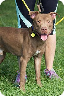 Terrier (Unknown Type, Medium)/American Pit Bull Terrier Mix Dog for adoption in Fulton, Missouri - Griffin- Ohio