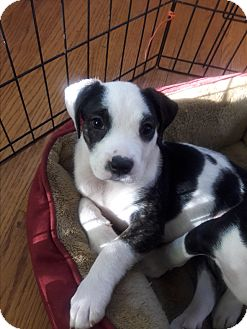Boxer Mix Puppy for adoption in Hainesville, Illinois - Cranberry Sauce