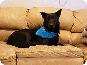 German Shepherd Dog Mix Dog for adoption in Pilot Point, Texas - Shadow