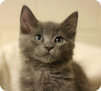 Domestic Longhair Kitten for adoption in Canoga Park, California - Kyrie