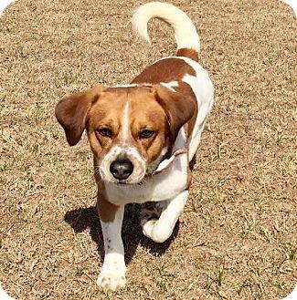 Welsh Corgi/Beagle Mix Dog for adoption in Aiken, South Carolina - Charlie