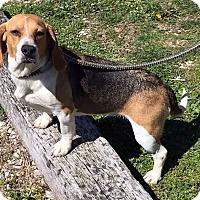 Adopt A Pet :: Daisy - Loogootee, IN