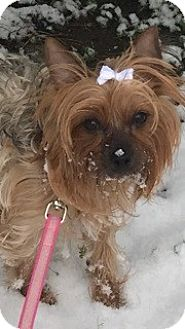 Yorkie, Yorkshire Terrier Dog for adoption in Franklin, Tennessee - Molly