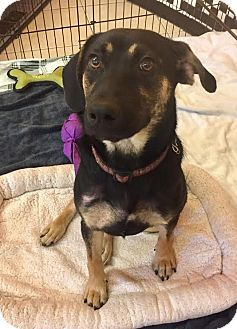 Shepherd (Unknown Type) Mix Puppy for adoption in Boca Raton, Florida - Lilly