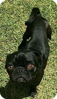 "Pug Mix Dog for adoption in Seattle, Washington - ""Stewie"""