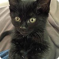 Adopt A Pet :: Fenway - Troy, MI