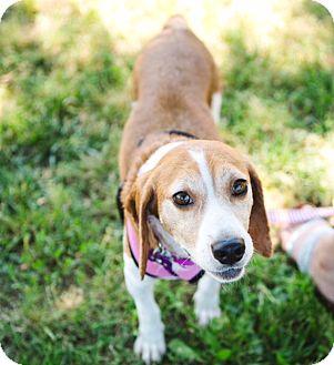 Beagle Mix Dog for adoption in Alexandria, Virginia - Daisy