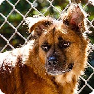 Shepherd (Unknown Type) Mix Dog for adoption in Decatur, Georgia - Yogi