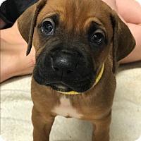 Adopt A Pet :: Marley - ST LOUIS, MO