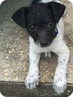Terrier (Unknown Type, Small)/Rat Terrier Mix Puppy for adoption in Mary Esther, Florida - Buster