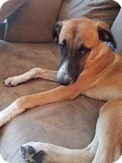 Pharaoh Hound Mix Puppy for adoption in Manhattan, New York - Ben