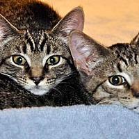 Adopt A Pet :: Venus (and Comet) - West Orange, NJ