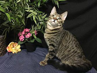 Domestic Shorthair Kitten for adoption in Fayetteville, Georgia - Stephi