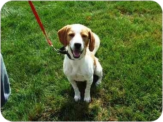 Brittany/Beagle Mix Dog for adoption in Batavia, Ohio - Spunky