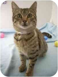 Domestic Shorthair Kitten for adoption in North Charleston, South Carolina - Lilly
