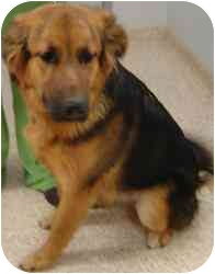German Shepherd Dog Mix Dog for adoption in Chambersburg, Pennsylvania - Genesis